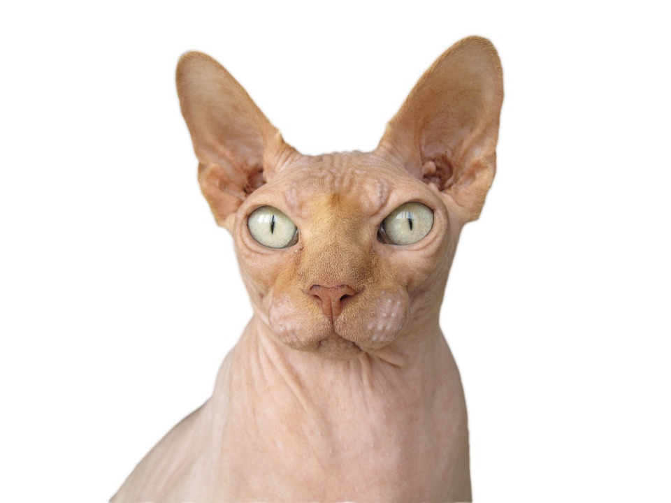 sphynx cat is one of the non allergenic cat breeds