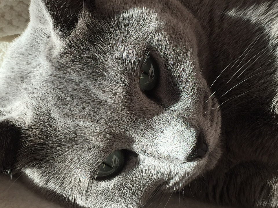 russian blue hyper is one of the allergenic cats