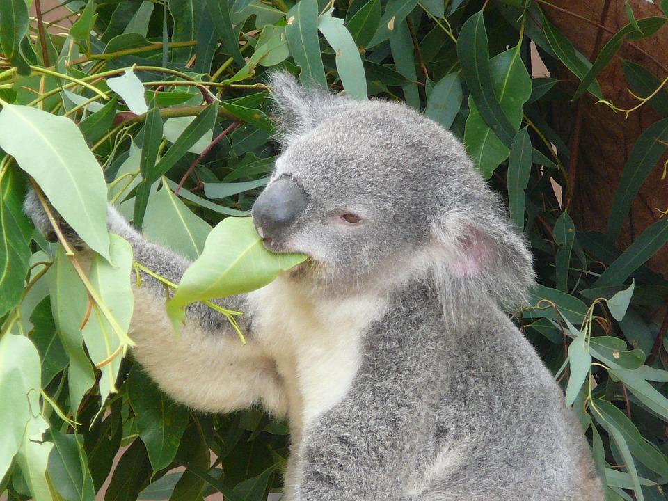 eucalyptus for asthma