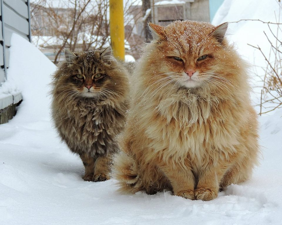 siberian cat is one of the allergy free cat